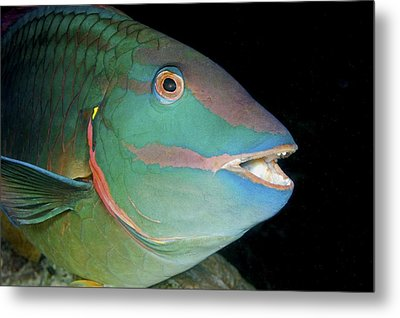 Stoplight Parrotfish Metal Print by Clay Coleman