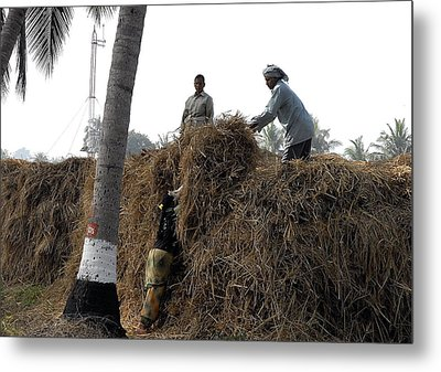 Storing The Rice Grass Metal Print by Johnson Moya