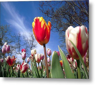 Strato Cirrus Clouds Greet The Tulips  Metal Print by Don Struke