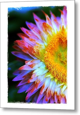 Metal Print featuring the photograph Strawflower by Judi Bagwell