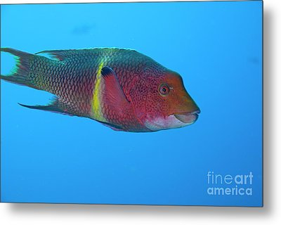 Streamer Hogfish Or Mexican Hogfish Metal Print by Sami Sarkis