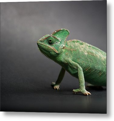 Studio Shot Of Chameleon Metal Print by Sarune Zurba