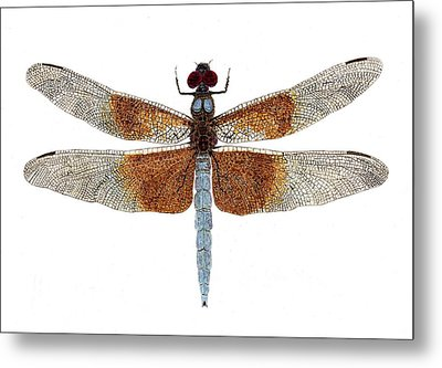 Study Of A Female Widow Skimmer Dragonfly Metal Print by Thom Glace