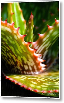 Succulents With Spines Metal Print by Judi Bagwell