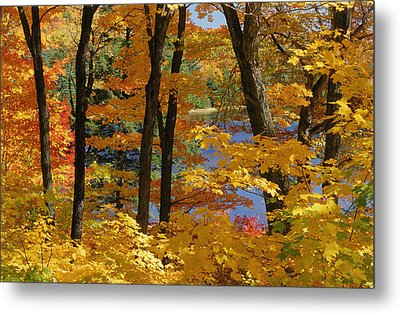 Sugar Maples, Gatineau Park, Quebec Metal Print