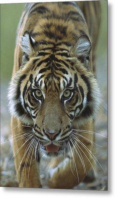Sumatran Tiger Panthera Tigris Sumatrae Metal Print by Zssd
