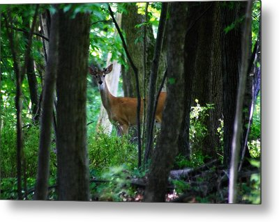 Summer Buck 1 Metal Print by Scott Hovind