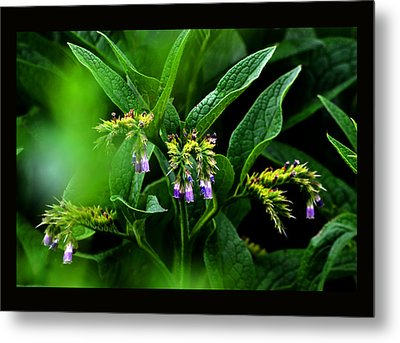 Metal Print featuring the photograph Summer Comfrey Blooms by Susanne Still