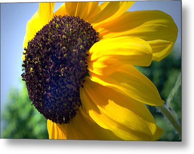 Sun Flower Metal Print by Cheryl Cencich