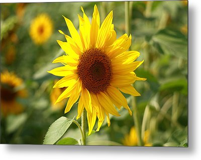 Metal Print featuring the photograph Sun Flower by Coby Cooper