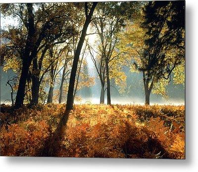 Sun Rays Passing Through Golden Trees  Metal Print by ilendra Vyas