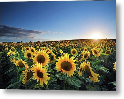 Sun Setting Over Sunflower Field Metal Print by Andreas Jones