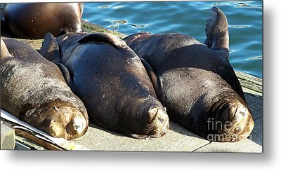 Metal Print featuring the photograph Sunbathing Sea Lions by Chalet Roome-Rigdon
