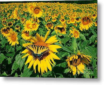 Sunday Afternoon Metal Print by Gina Signore