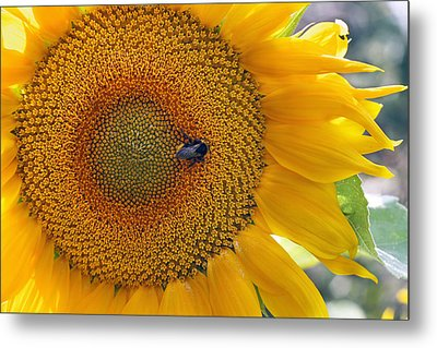 Sunflower And A Bumblebee Metal Print by Aleksandr Volkov