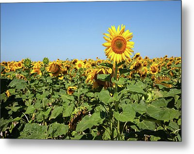 Sunflower Metal Print by Billy Currie Photography