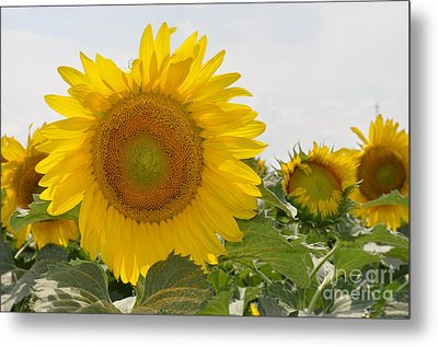 Metal Print featuring the photograph Sunflower by Cheryl McClure