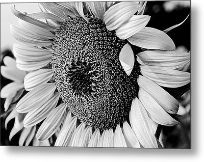 Metal Print featuring the photograph Sunflower by Dan Wells
