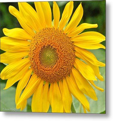 Sunflower Days Metal Print by Ann Murphy