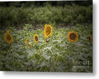 Metal Print featuring the photograph Sunflower Driveby by Vicki DeVico