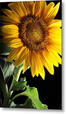 Sunflower Metal Print by Dung Ma