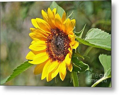 Metal Print featuring the photograph Sunflower by Eve Spring