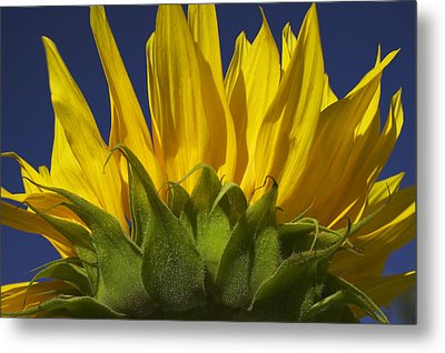 Sunflower Metal Print by Garry Gay