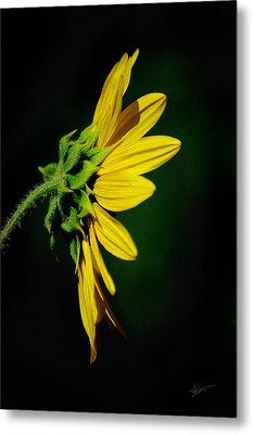Metal Print featuring the photograph Sunflower In Profile by Vicki Pelham
