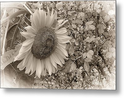 Metal Print featuring the photograph Sunflower In Sepia by Vicki DeVico