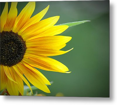 Sunflower Morning Metal Print by Bill Cannon