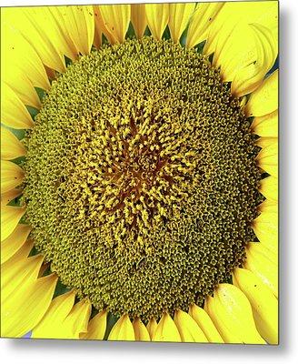 Sunflower Metal Print by Nenov