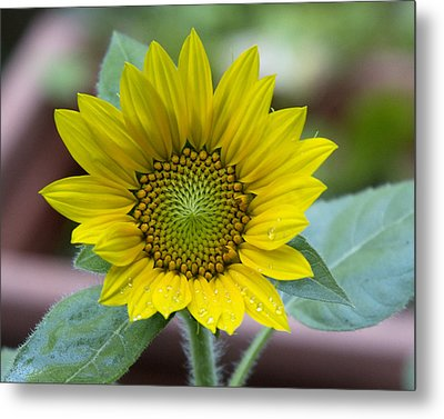 Sunflower Number 2 Metal Print