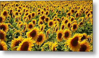 Metal Print featuring the photograph Sunflower Panorama by Nancy De Flon
