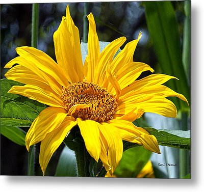Sunflower Metal Print by Susi Stroud