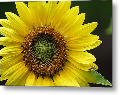 Metal Print featuring the photograph Sunflower With Insect by Daniel Reed