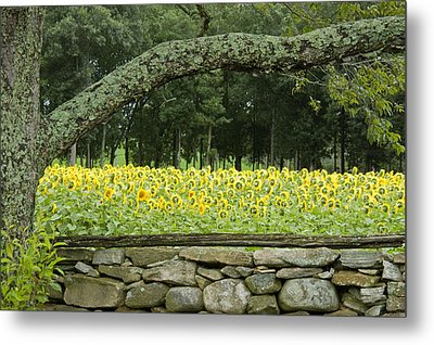 Sunflowers 1 Metal Print by Ron Smith