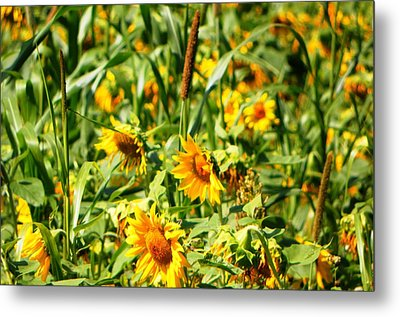Sunflowers Metal Print by Jennifer Compton