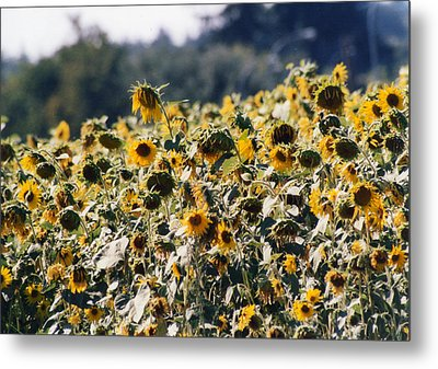 Metal Print featuring the photograph Sunflowers by Maureen E Ritter