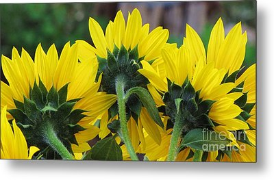 Metal Print featuring the photograph Sunflowers  by Michele Penner
