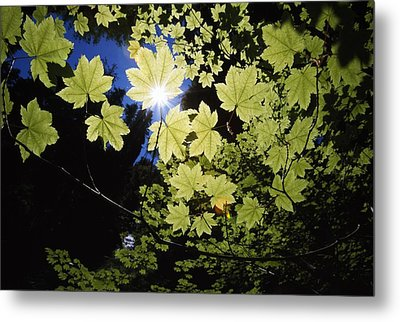 Sunlight Through Maple Leaves Metal Print by Natural Selection Craig Tuttle