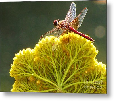 Metal Print featuring the photograph Sunlit Dragonfly On Yellow Yarrow by Michele Penner