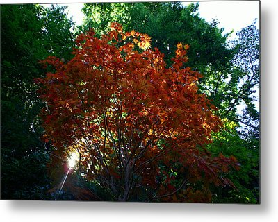 Sunlit Maple Metal Print by Jerry Cahill