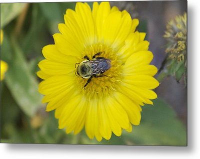 Sunny Bumblebee Metal Print by Michel DesRoches