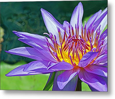 Sunny Purple Waterlily Metal Print by Becky Lodes