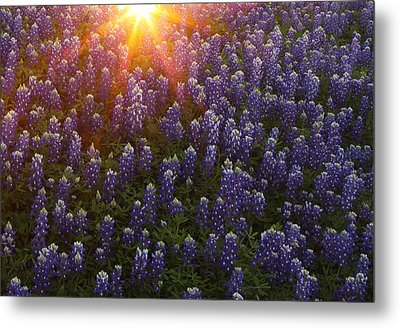 Metal Print featuring the photograph Sunset Over Bluebonnets by Susan Rovira