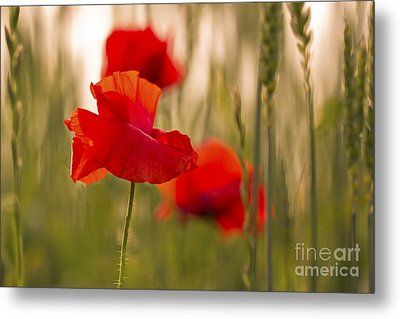Metal Print featuring the photograph Sunset Poppies. by Clare Bambers