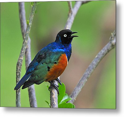 Superb Starling Metal Print by Tony Beck
