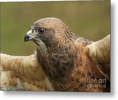 Metal Print featuring the photograph Swainson's Hawk by Doug Herr