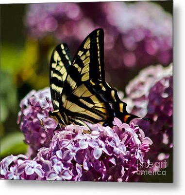 Swallowtail On Lilac 2 Metal Print by Mitch Shindelbower