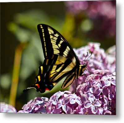 Swallowtail On Lilac Metal Print by Mitch Shindelbower
